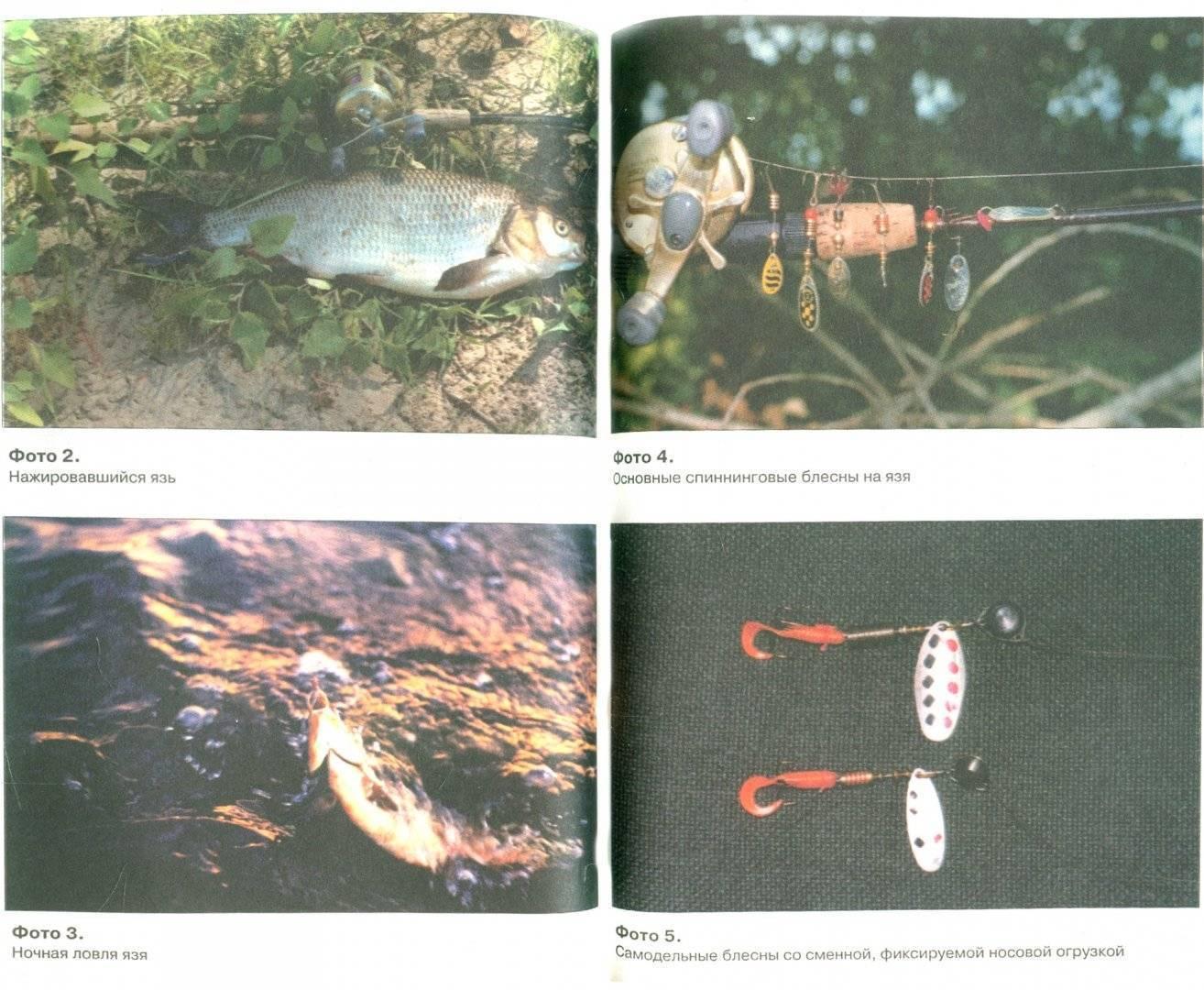 Язь: 125 фото рыбы, и видео описание секретов ловли язя в разные времена года