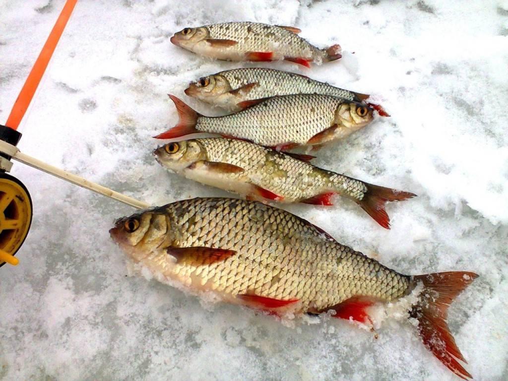Ловля краснопёрки зимой - рыбалка