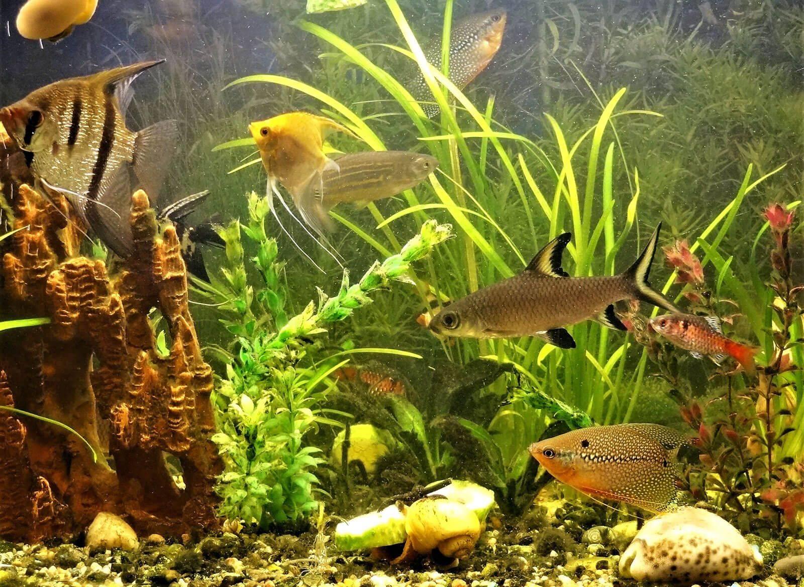 С какими рыбками уживаются петушки?