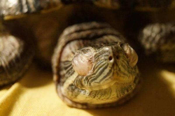 Болезни черепах красноухих: симптомы и лечение питомцев