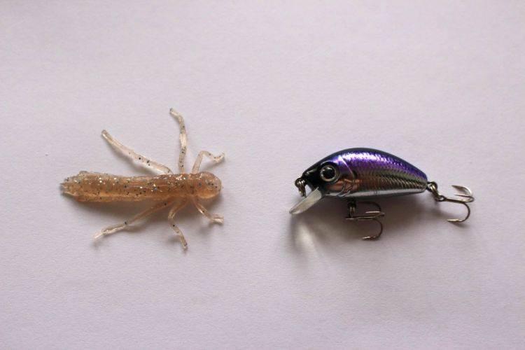 """Стурисома панамская (sturisoma panamense): содержание и уход - семейство рыб """"кольчужные сомы, или лорикариевые сомы (loricariidae)"""""""