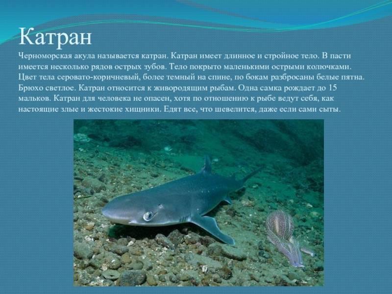 Акулы катран могут нападать на людей в черном море. куда пропадают отдыхающие? катран ест человека?