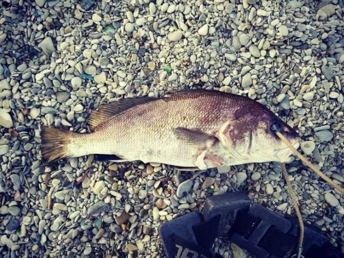 Звёздчатый скат (средиземноморский скат) - описание, как и где ловить в израиле | все о рыбалке в израиле