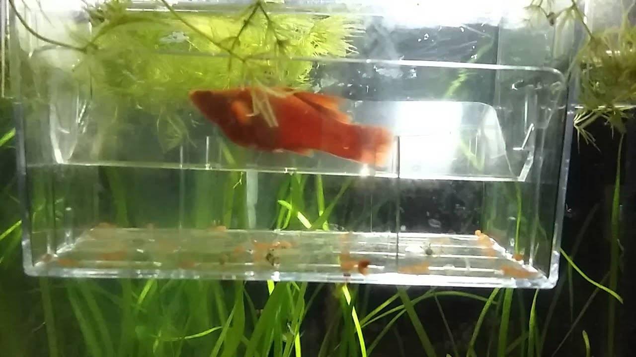 Рыбка меченосец (xiphophorus hellerii)