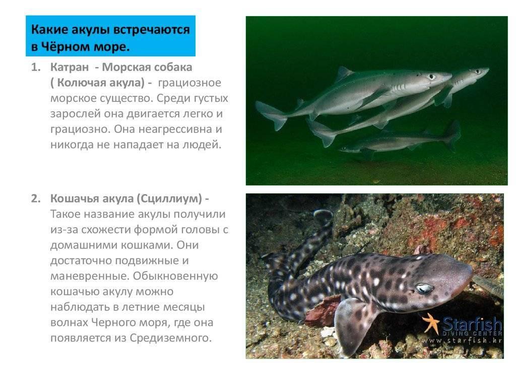 Особенности акулы катран и ее использование в кулинарии