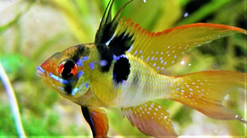 Апистограмма рамирези: фото рыбки, содержание, разведение, совместимость, видео апистограмма рамирези: фото рыбки, содержание, разведение, совместимость, видео