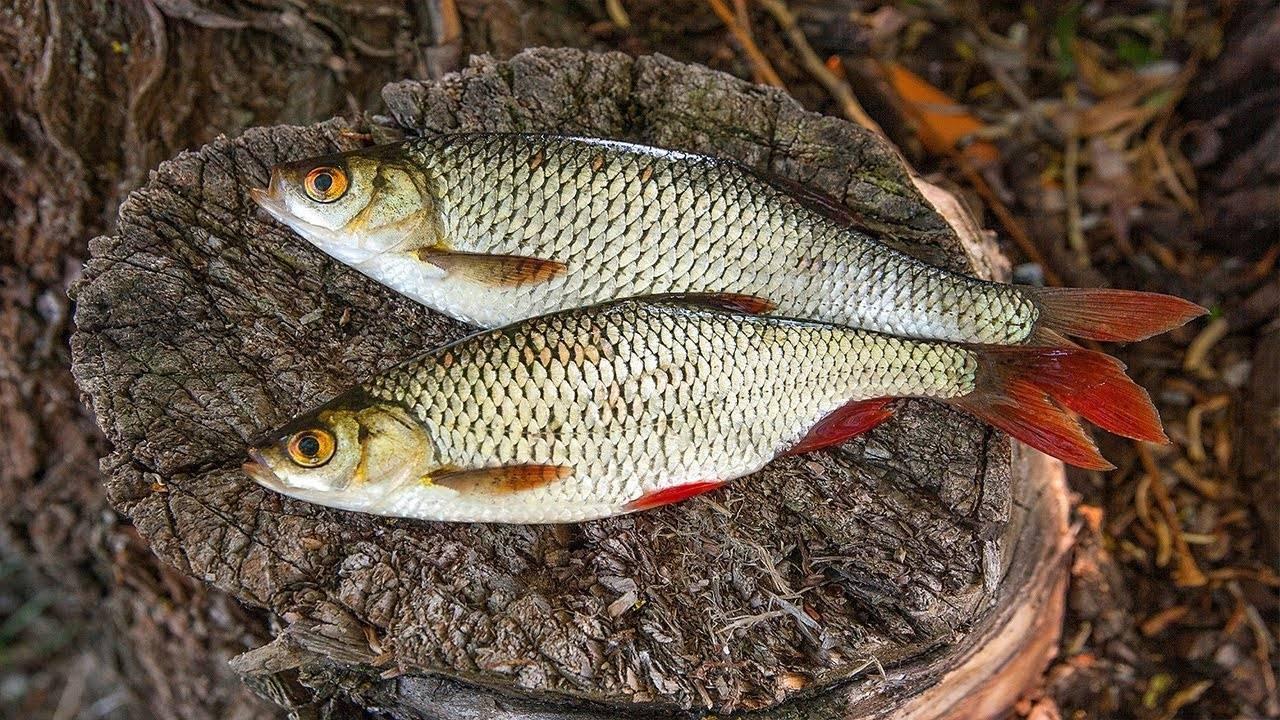 Описание рыбы сорога