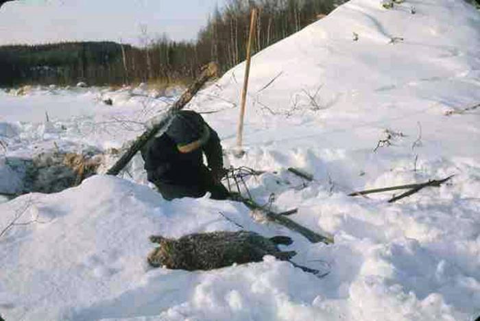 Зимняя охота на бобра