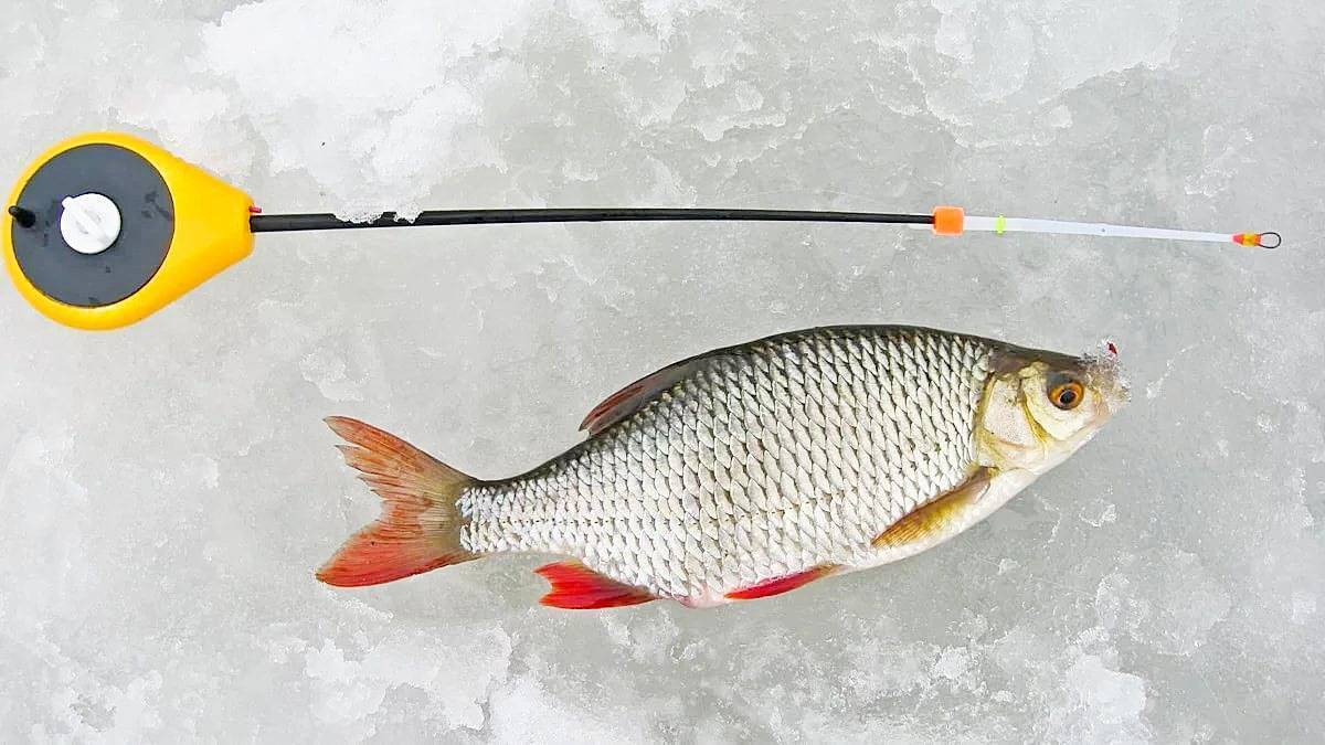 Ловля краснопёрки зимой: зимняя прикормка, на что ловить