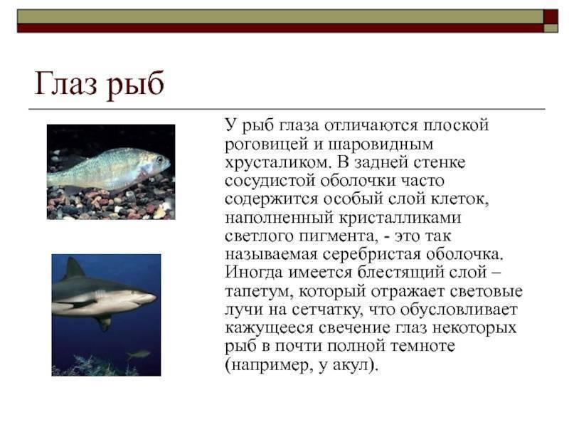 Органы зрения рыб