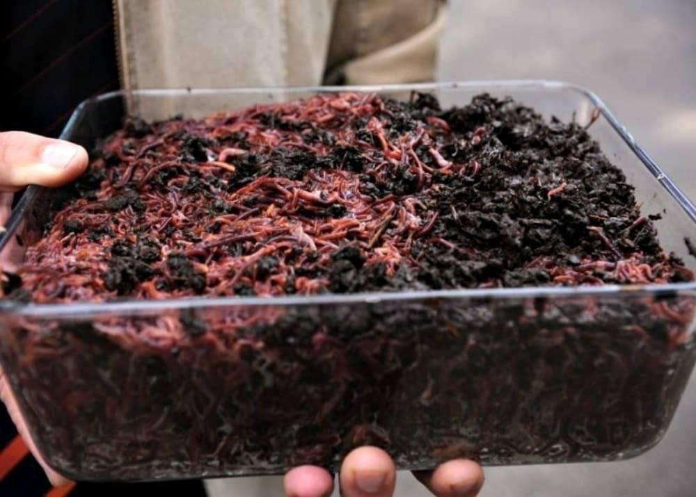 Живая наживка для рыбалки: хранение мотыля, опарыша и червя