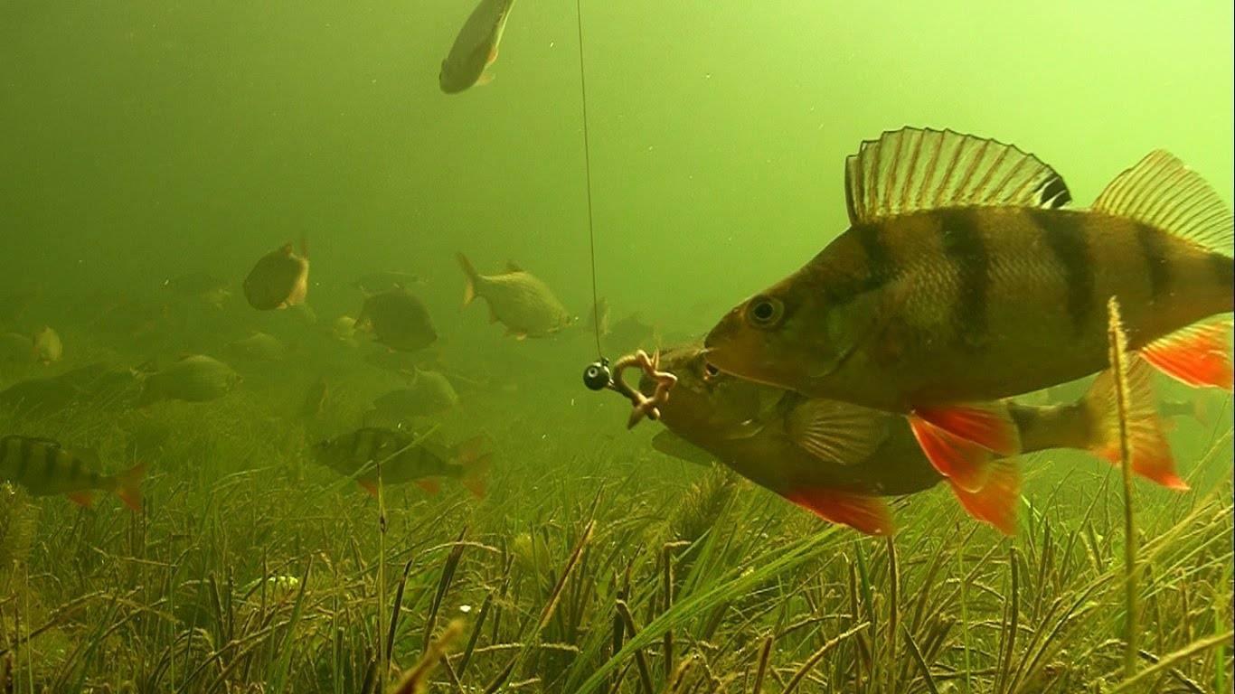 Ерш – маленькая рыбка с интересными достоинствами