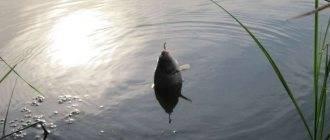 Ловля толстолобика: на технопланктон, на снасть убийцу, оснастка, рецепты приманки