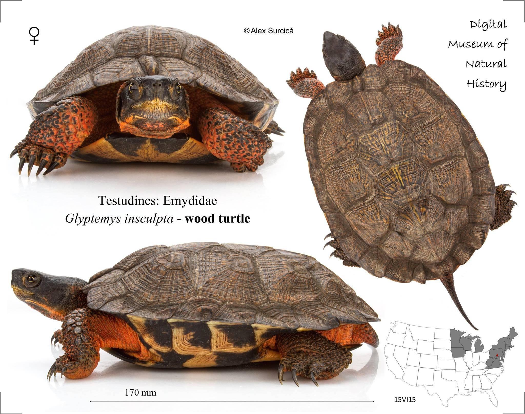 Черепаха – описание, виды, пища, где обитает, фото