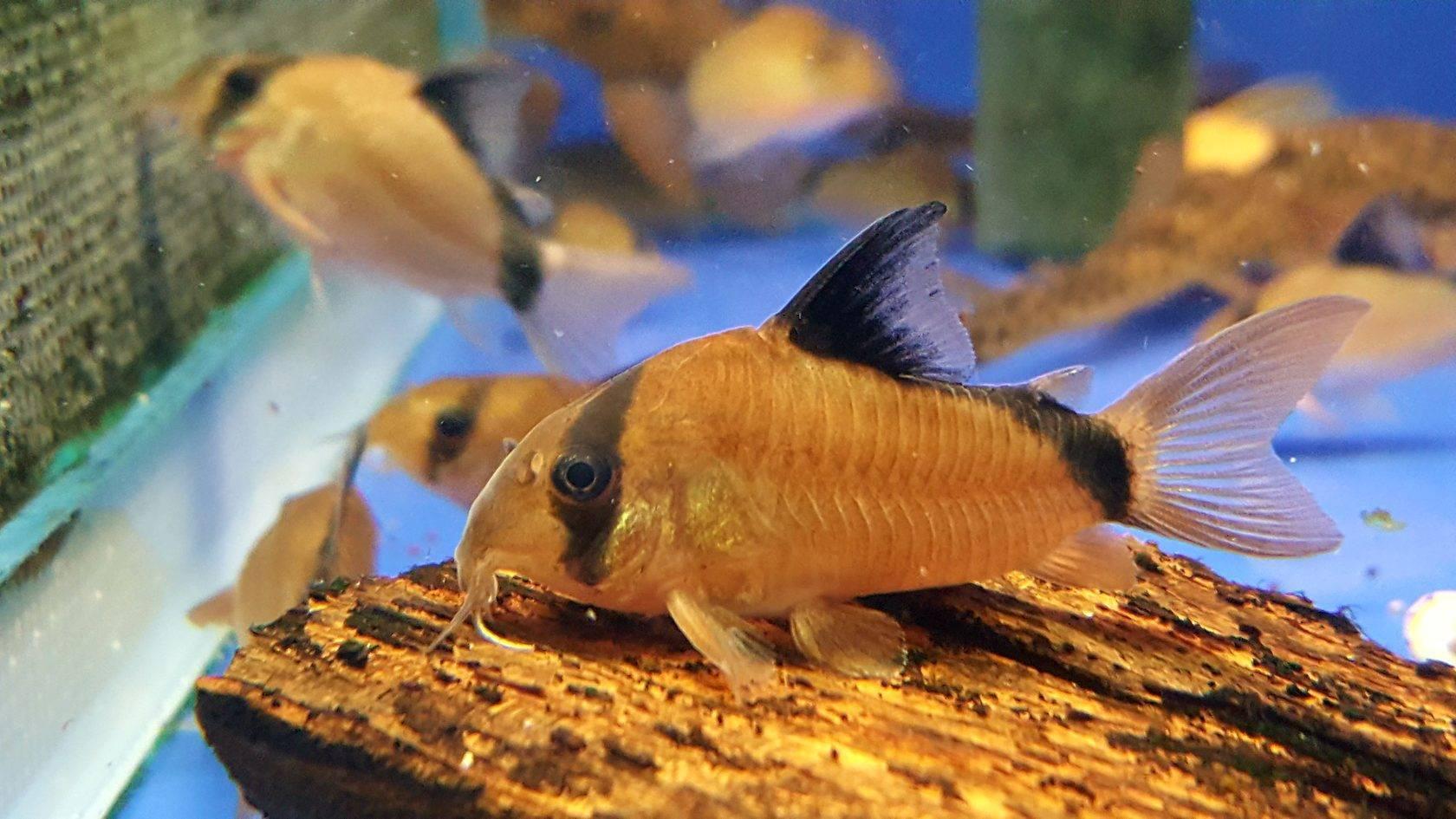 Коридорас рыба. описание, особенности, уход и цена рыбы коридорас