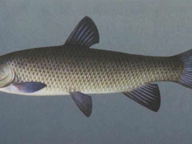 Рыба белый амур: особенности ловли рыбы, рецепты приготовления с фото