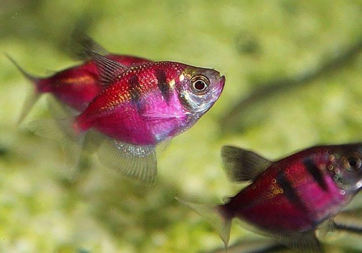 Прозрачный стеклянный окунь: особенности содержания необычной рыбки