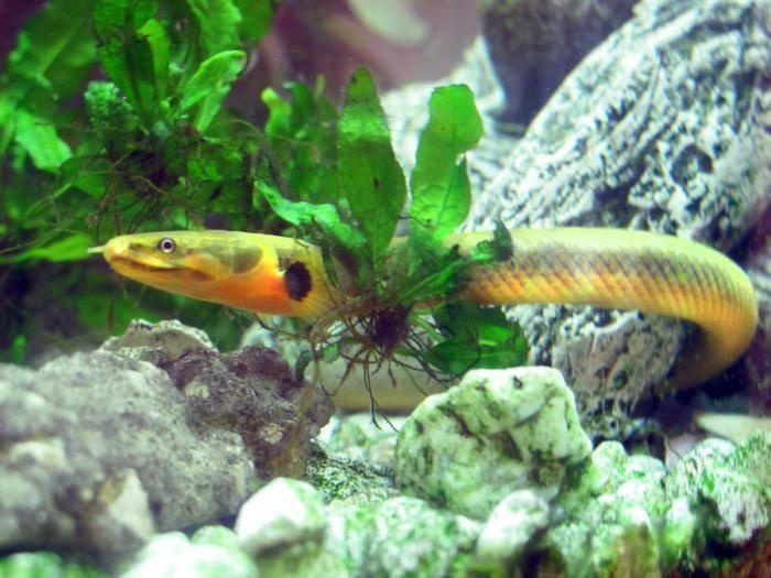 Рыба змея или калабарский каламоихт: описание, условия содержания в аквариуме, совместимость с другими рыбками