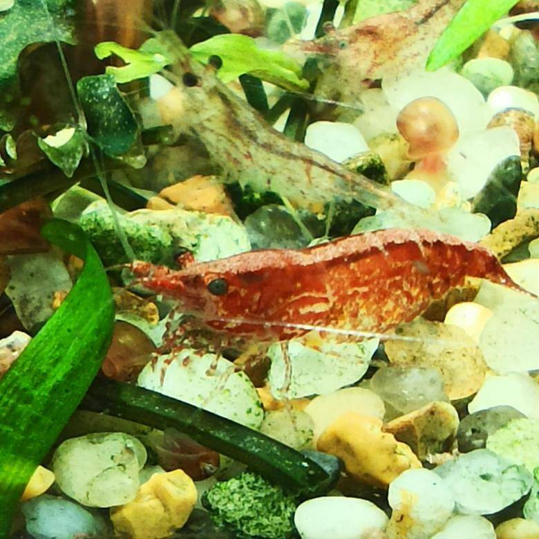 Креветки вишни: описание, виды, содержание в аквариуме, болезни