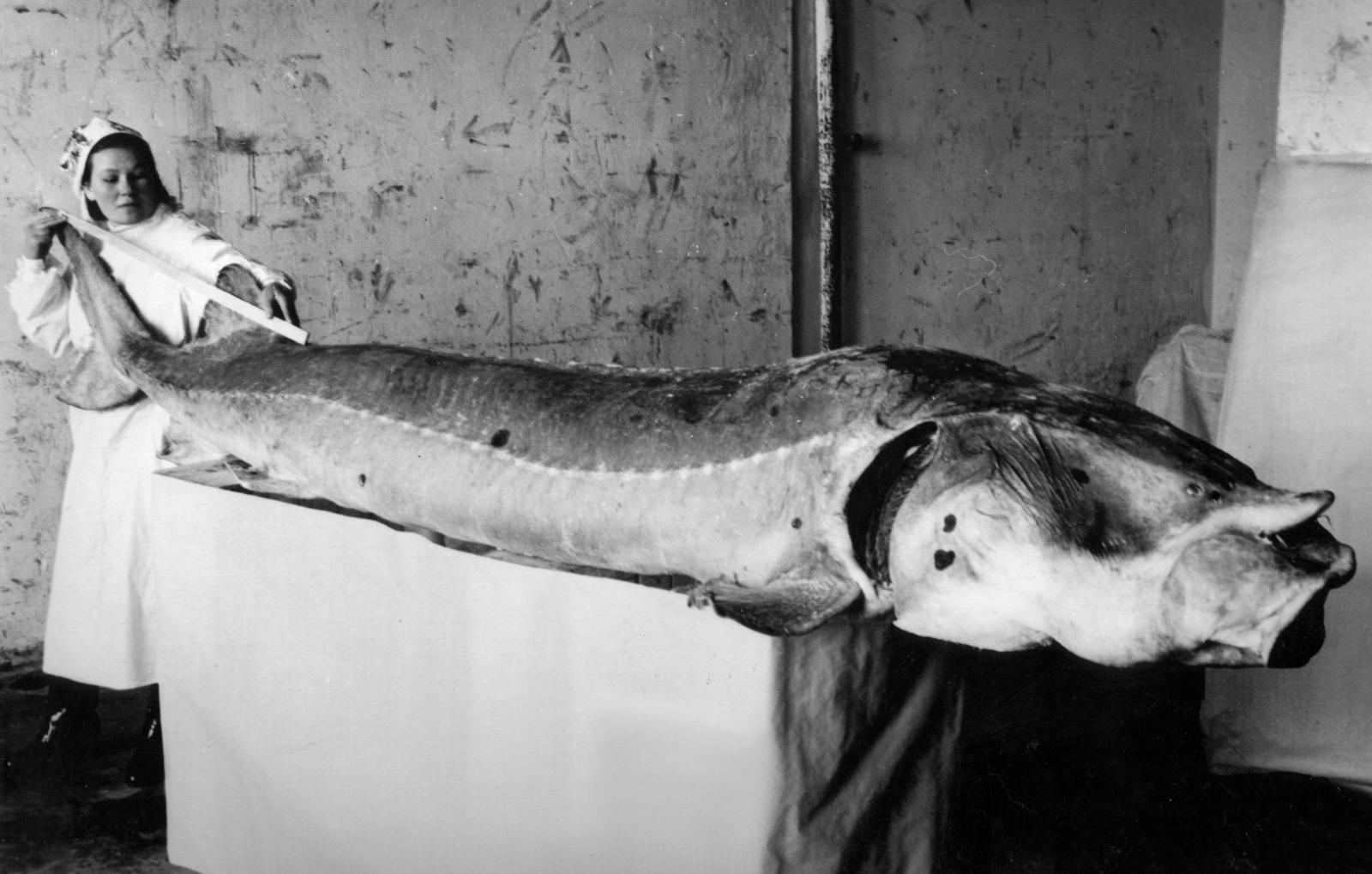 Белуга (рыба): описание и фото