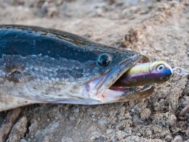Рыба змееголов — описание, места обитания, ловля, насадки