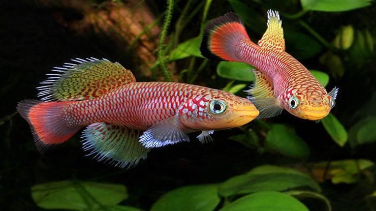 Рыбки нотобранхиус: описание и содержание в домашних условиях