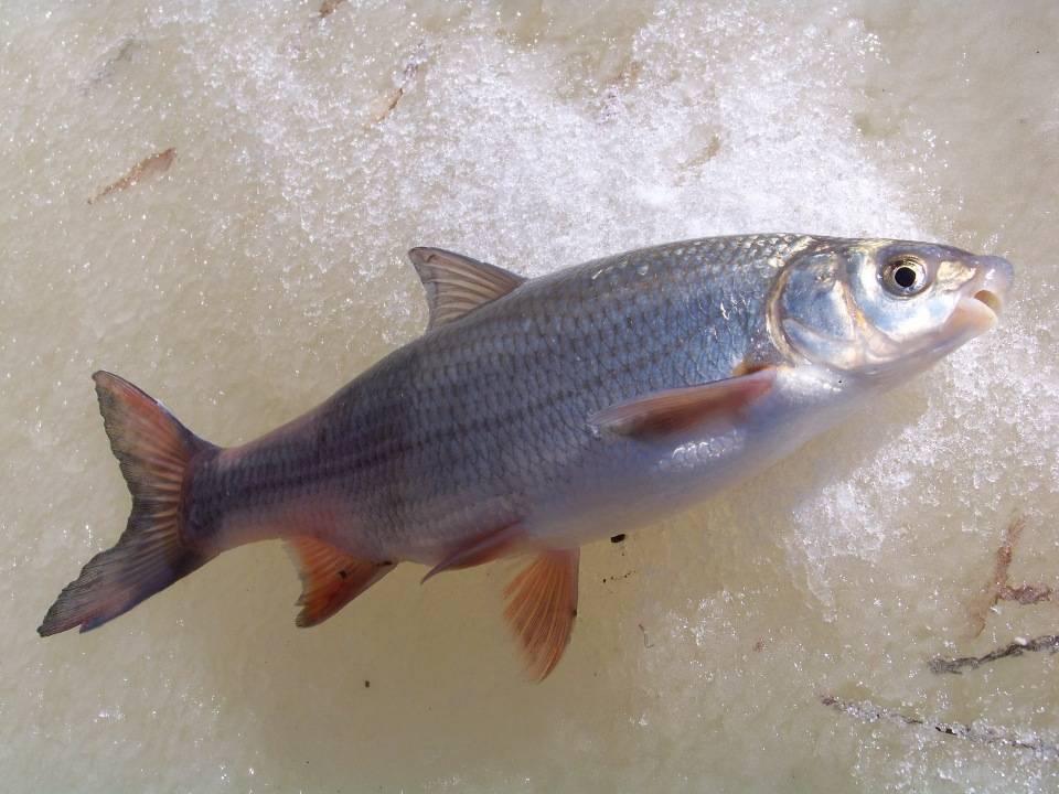 Омуль на что клюет - про рыбалку