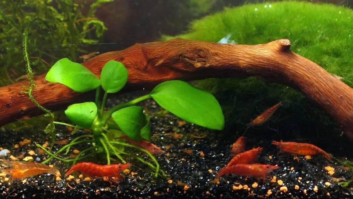 Все виды аквариумных креветок и усовия их содержания
