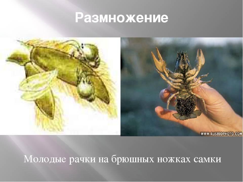 Особенности размножения раков в аквариуме