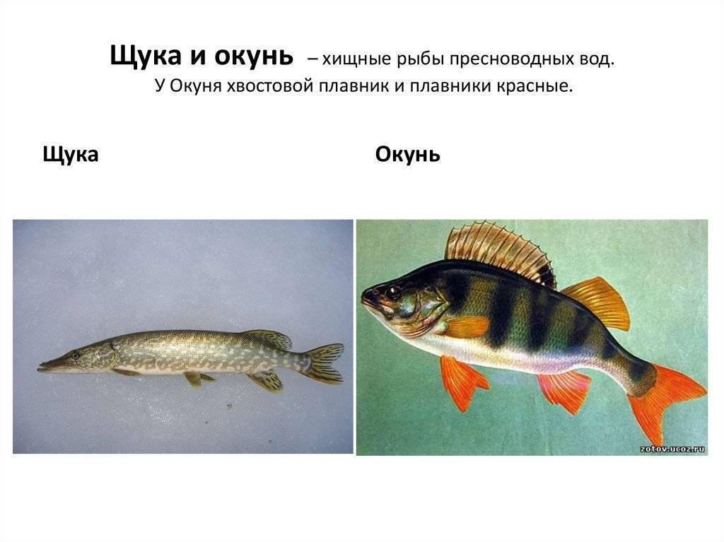 Рыба окунь?: фото и описание. как выглядит окунь?, чем питается и где водится