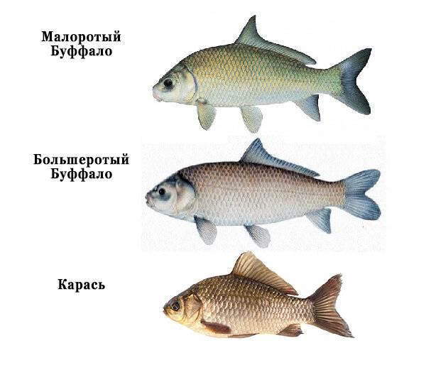 Буффало рыба: где водится чем отличается откарася