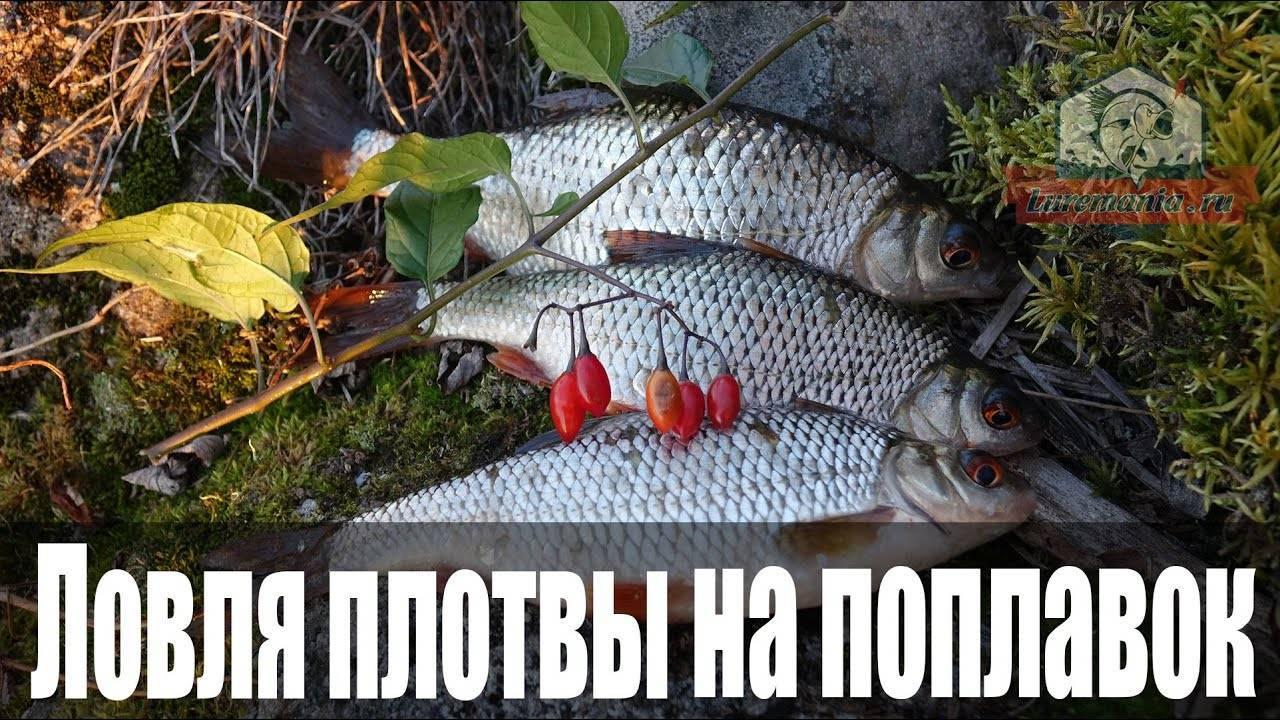 Ловля плотвы осенью на поплавок: в сентябре, октябре и перед ледоставом, на реке и озере | berlogakarelia.ru