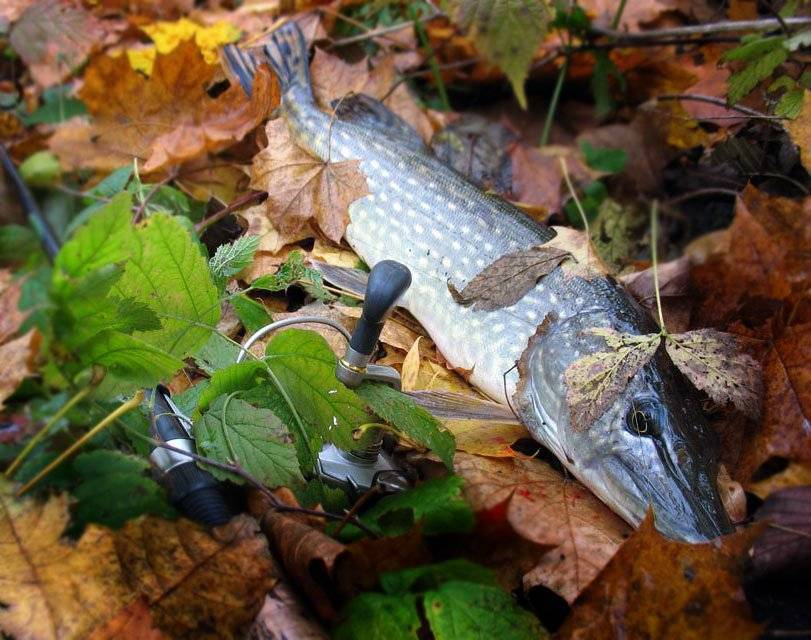 Рыбалка на щуку в сентябре: на что ловить, выбор приманки