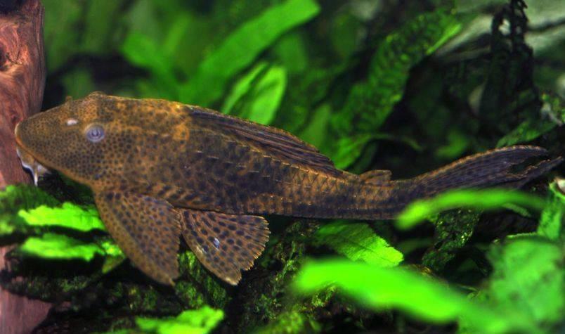 Плекостомус: содержание в аквариуме, совместимость, разведение