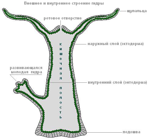 Сколько живет гидра. гидра — класс гидрозои: органы чувств, нервная и пищеварительная системы, размножение
