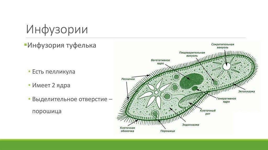 Инфузория туфелька, строение, как передвигается, размножение, чем питается, среда обитания, место образования пищеварительных вакуолей   tvercult.ru