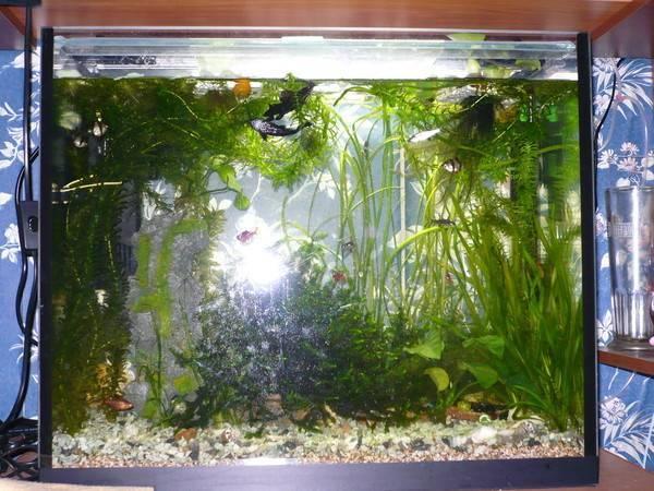 Как часто нужно менять воду в аквариуме? 19 фото сколько раз надо менять воду в аквариуме на 10 и 20, 30 и 50 литров? правила подмены воды рыбкам после первого запуска