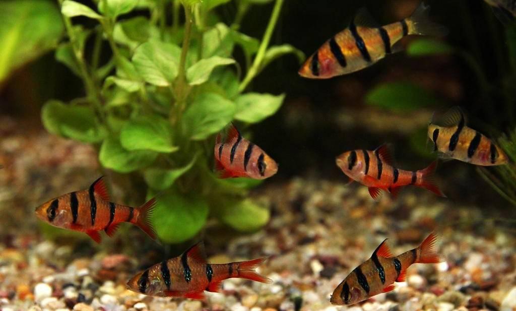 Яркий суматранский барбус в вашем аквариуме: особенности содержания