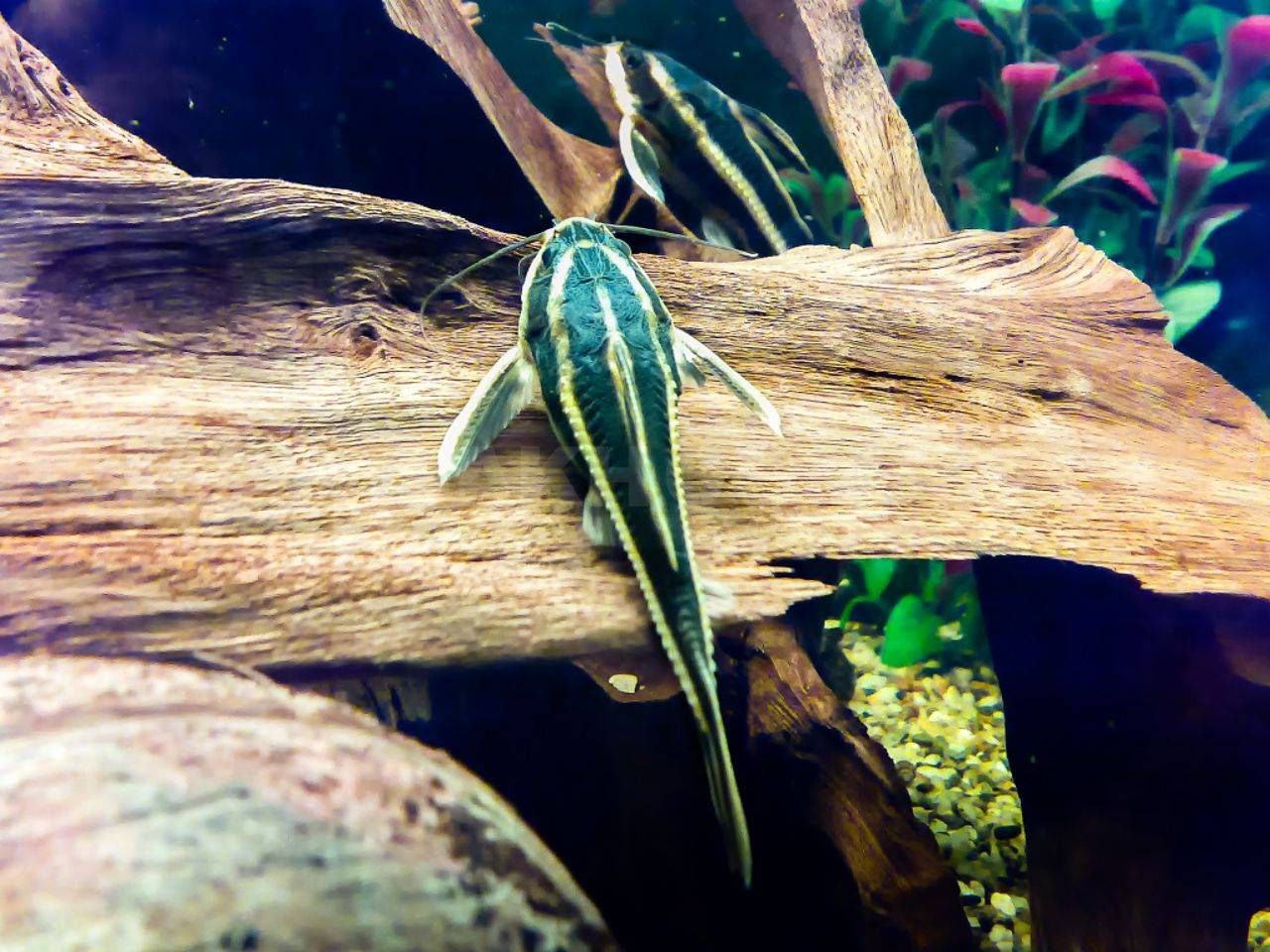 Сом платидорас полосатый: содержание в аквариуме