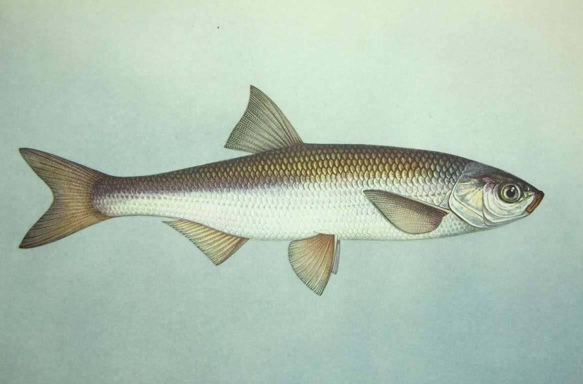 Как выглядит и где водится рыба шамайка?