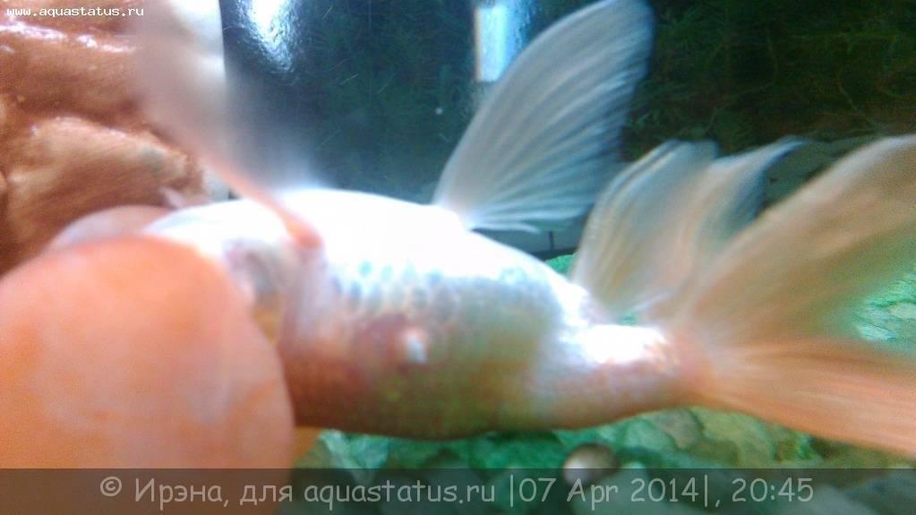 Золотая рыбка плавает сверху. золотая рыбка всплывает к поверхности воды — что делать