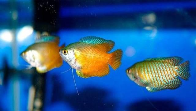 Содержание, уход и разведение аквариумных рыбок лялиус