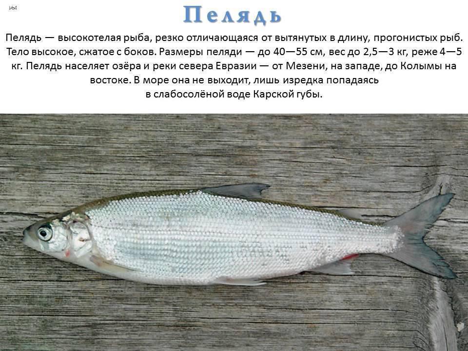 Как поймать рыбу сиг — где и на что ловить?