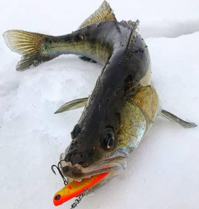 Ловля судака на ратлины зимой, по первому льду, техника рыбалки