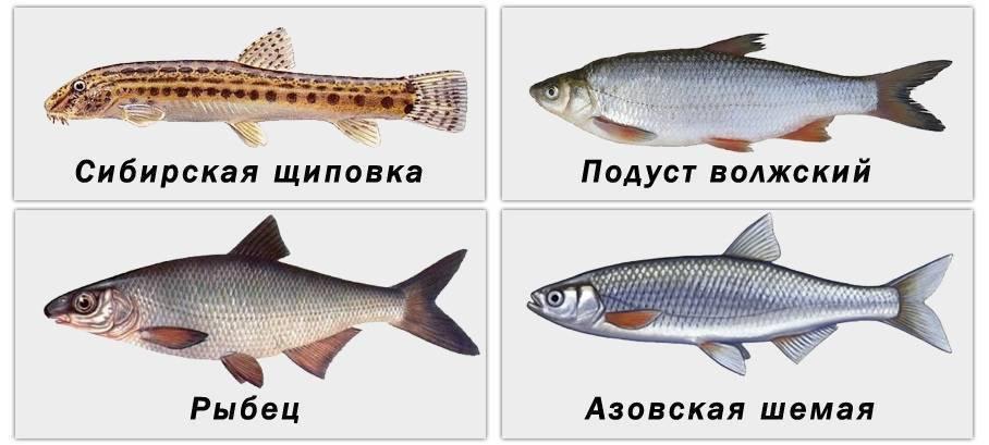 Азовская знаменитость — рыба шамайка
