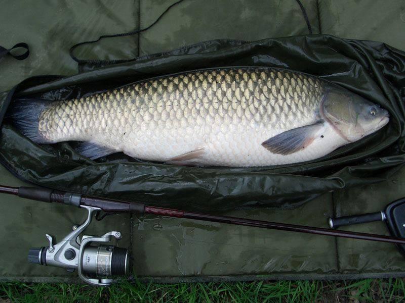 Рыба черный амур: описание, повадки, полезные свойства  :: syl.ru