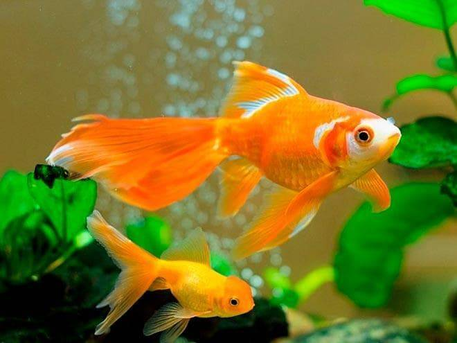 Рыба-телескоп и ее содержание в домашнем аквариуме