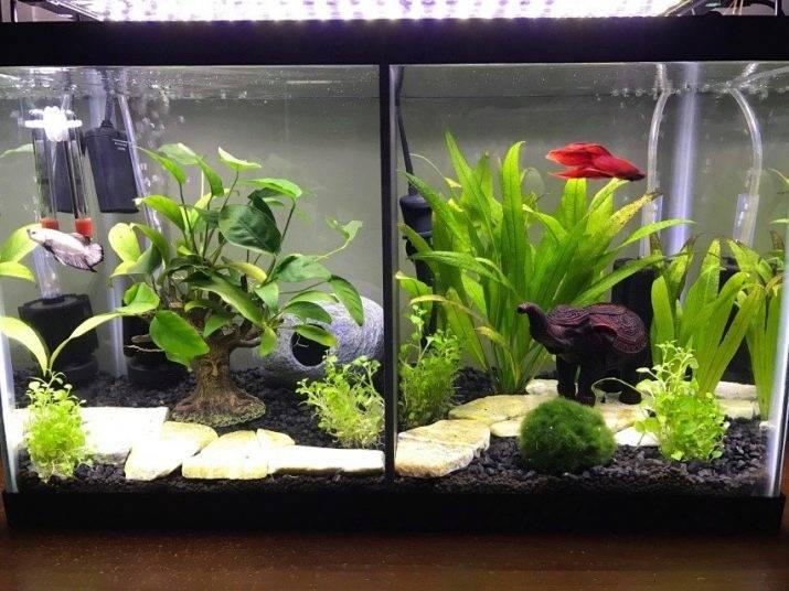 Рыба петушок: содержание, уход и размножение в домашних условиях