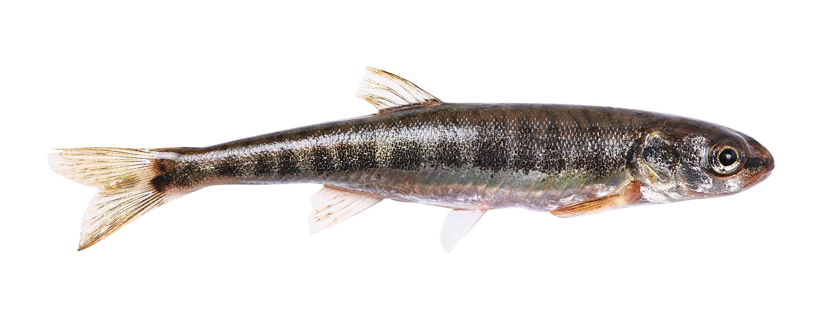 Рыба гольян – описание, поведение. снасти для ловли гольяна.