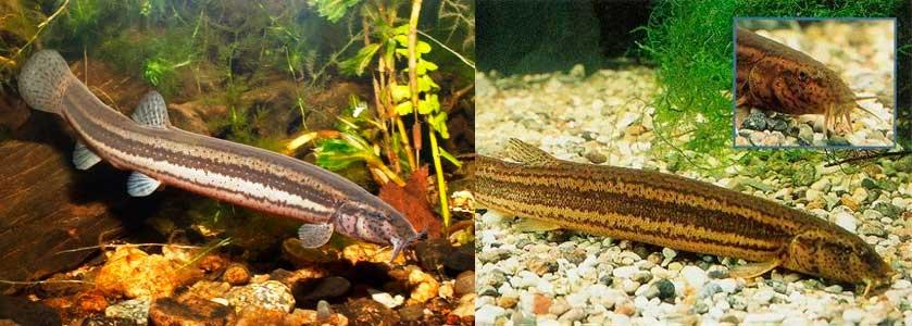 Вьюн — образ жизни рыбы, питание, процесс размножения + 71 фото